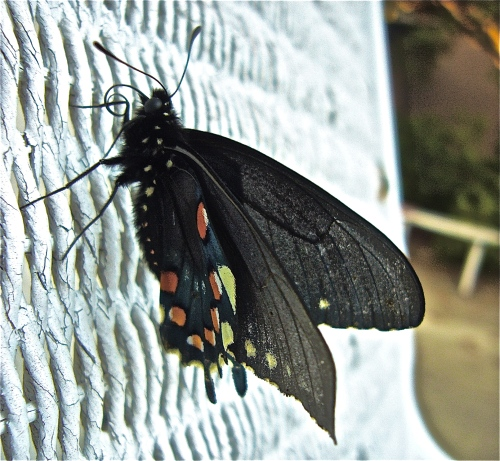 Pipevine Swallowtail (Battus philenor) Butterfly