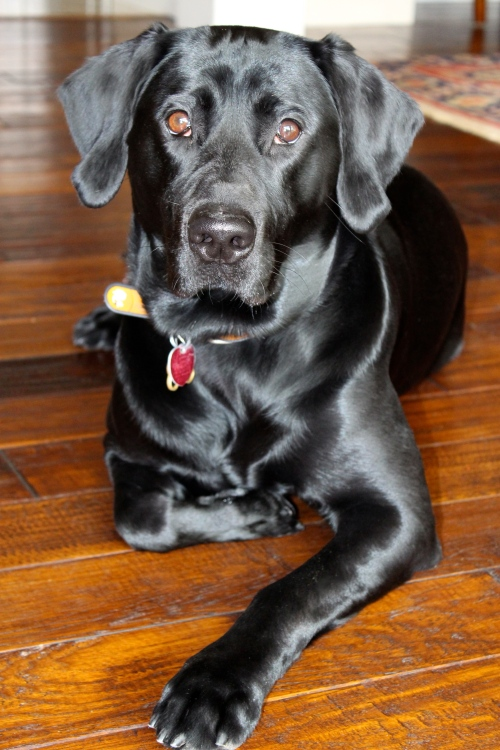 black lab photo