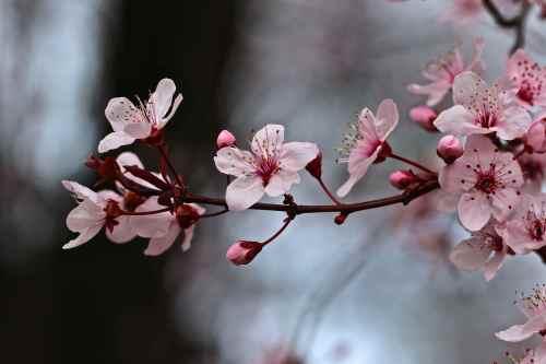pink spring bud