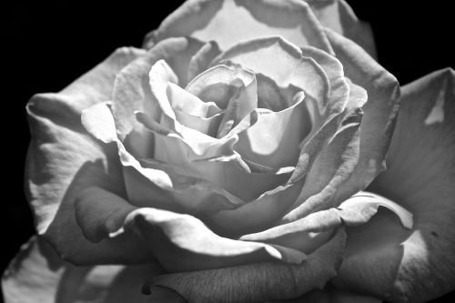 Peace Rose in black and white