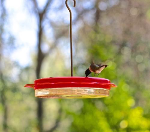 Young Hummingbird Feeding
