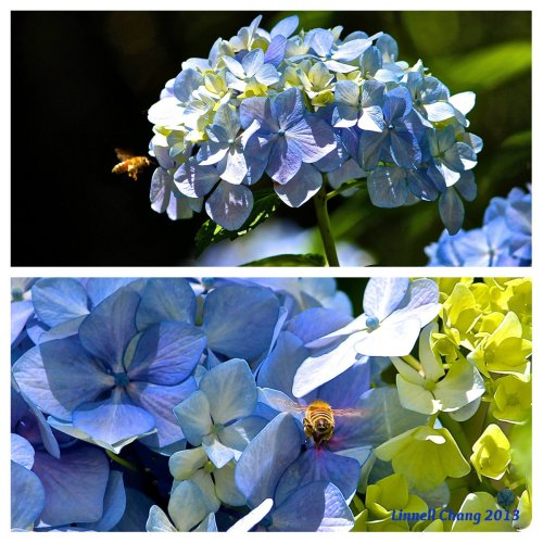 The Bee and the Blue Hydrangea
