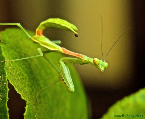 Praying Mantis Image