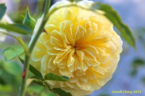 Yellow Pilgrim Rose