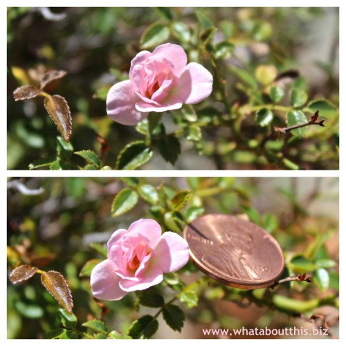 Miniature Rose