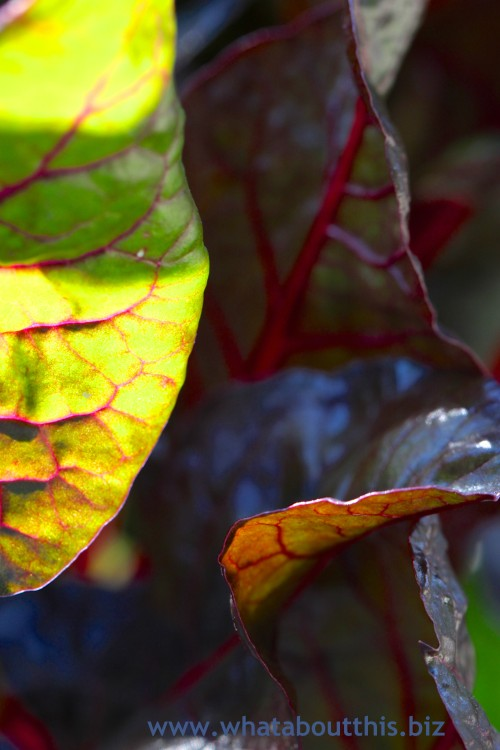Abstract Chard Leaves