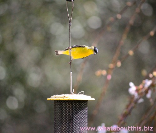 Goldfinch acrobatics