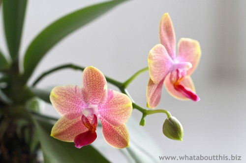 Phalaenopsis Orchid Image
